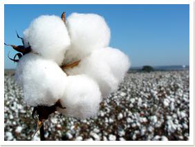 Resultado de imagem para imagens de algodão